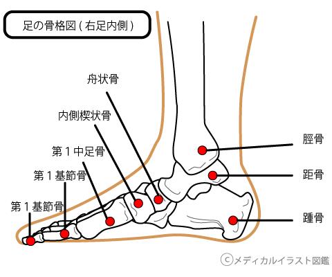 足の骨格図